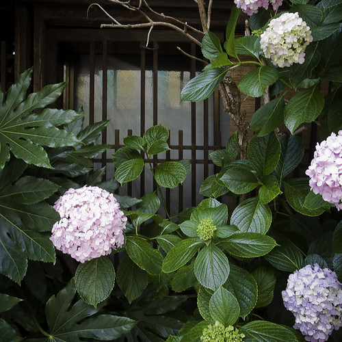 Nekozane Hydrangea Home and Window