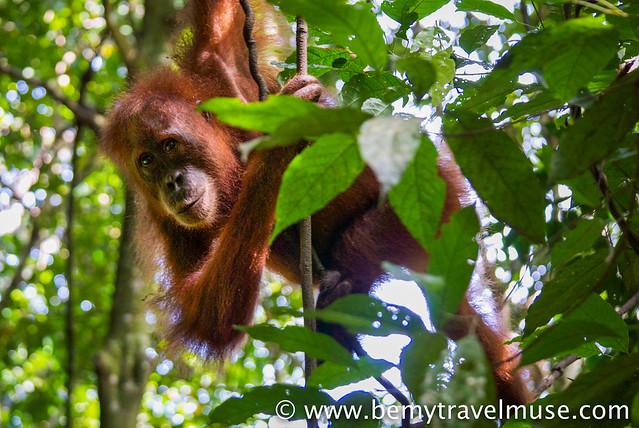 Orangutan in Bukut Lawang