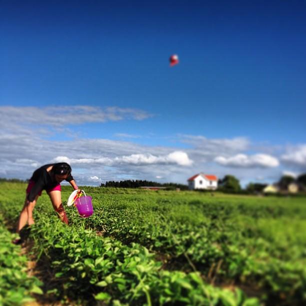 Premiär för att plocka jordgubbar.