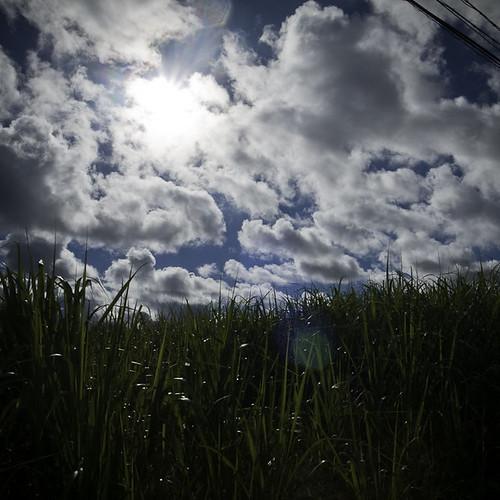 Sugar Cane Field, Okinawa