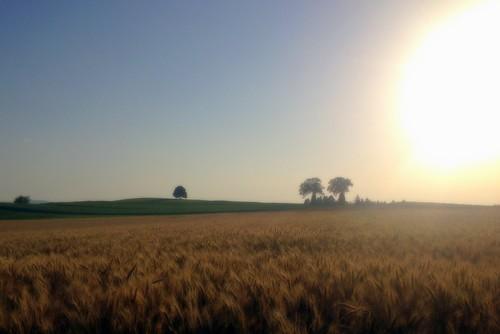 trees nature sunrise switzerland landscapes berne ceral triticale trimstein bouoo°2