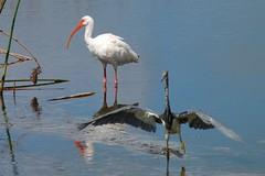 great egret(0.0), heron(0.0), spoonbill(0.0), egret(0.0), animal(1.0), wing(1.0), fauna(1.0), ciconiiformes(1.0), white stork(1.0), shorebird(1.0), beak(1.0), ibis(1.0), bird(1.0), wildlife(1.0),