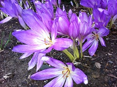 Giant meadow saffron along Holly Walk