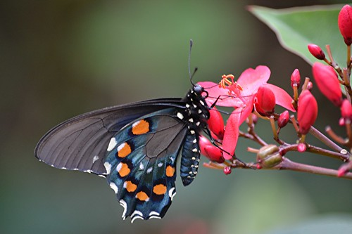 Pipevine Swallowtail is sipping Spicy Jatropha nectar