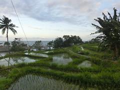 Reisfelder auch im Osten - Amed