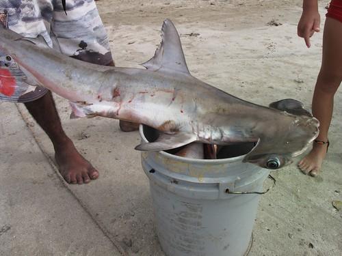 hey, hammerhead shark.