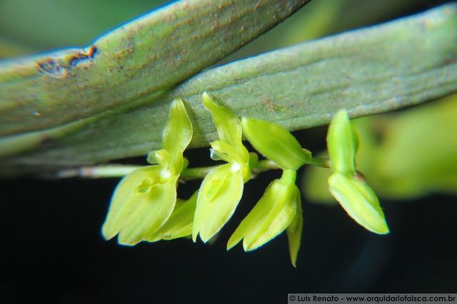 1388 - Pleurobotryum crepinianum var. alba
