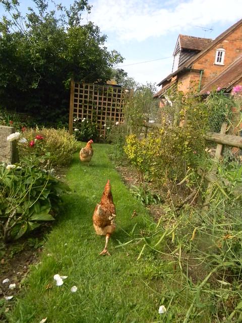Chickens in the pub garden