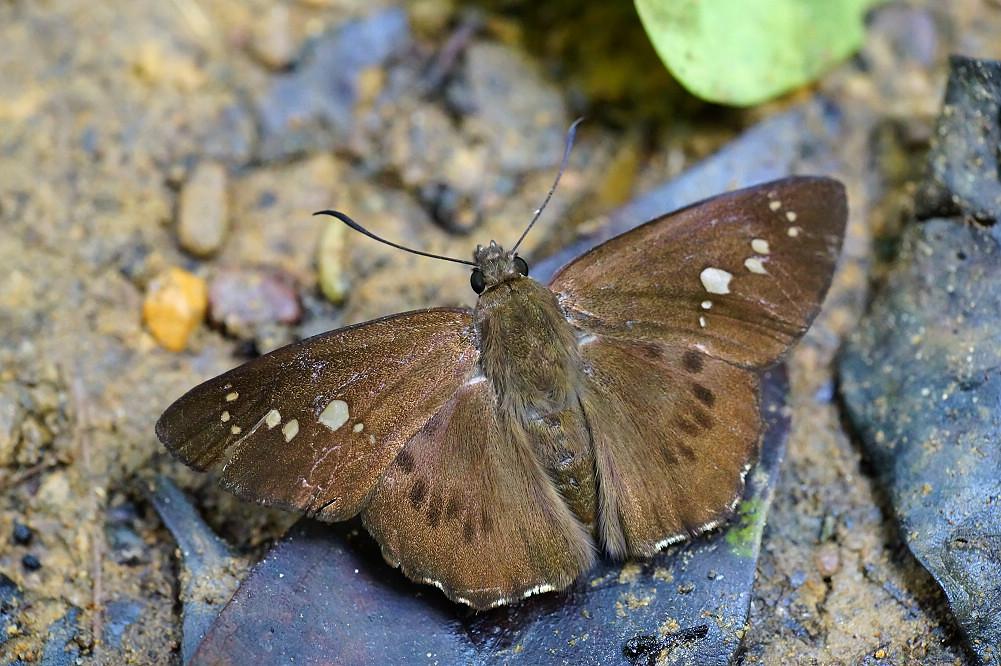 瑟弄蝶屬台灣瑟弄蝶-1