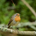 European robin by mellting