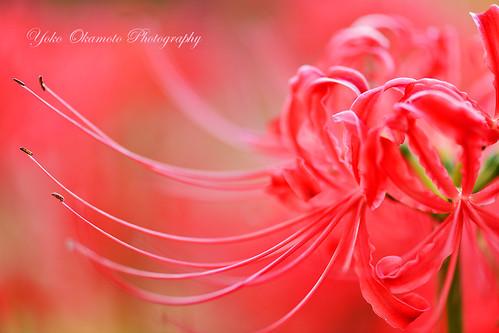 白い縁どりCluster amaryllis of white hemming