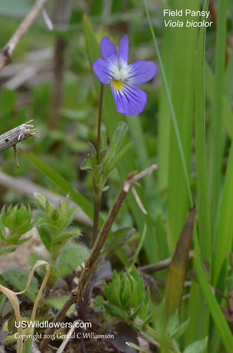 Field Pansy, Wild Pansy, Johnny Jump-up - Viola bicolor
