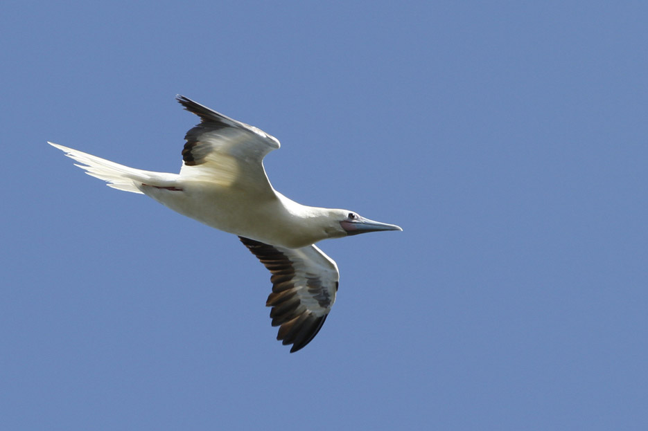 100513_08_list_redFootedBooby03