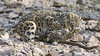 Playing young snow leopards II