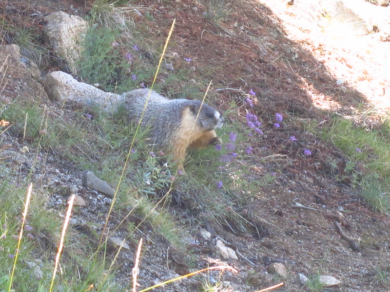 yellow-bellied marmot eating mountain pennyroyal near rae lakes