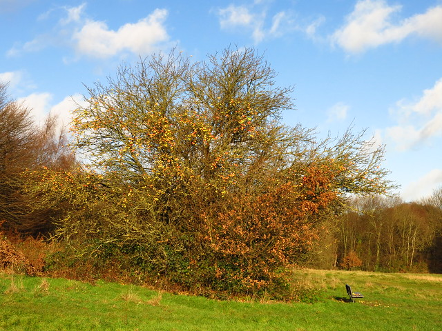 Apple Tree on Pryors Field