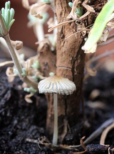 Mushroom Beside Egerton Blue Lavender