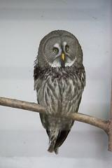 animal, bird of prey, owl, fauna, beak, great grey owl, bird,