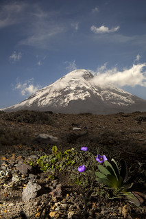 Volcano Chimborazo with purple flower, Ecuador