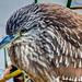 Juvenile Night Heron by SdosRemedios