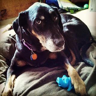 Don't touch Lola's piggy! #dogstagram #dobermanmix #instadog #dogtoys #ilovemydogs #dobiemix