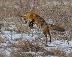 Fox Hunting (the other kind)