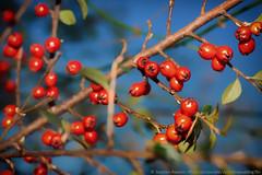 34. Berry/Berries