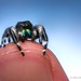 Phidippus audax - Male - Oklahoma by Thomas Shahan