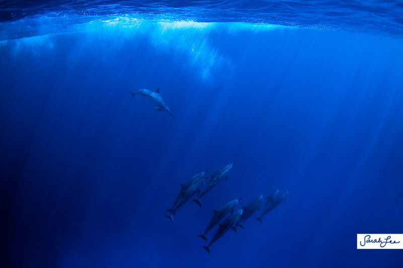 hawaii_underwater_dolphins_014.jpg