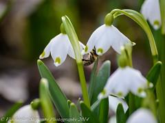 Белoцветник весенний (Leucojum vernum)