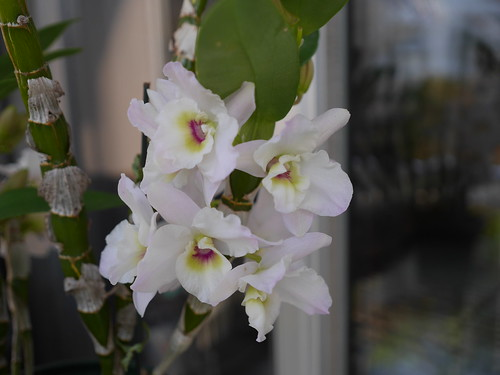 Dendrobium Himezakura\'Fujicco\'