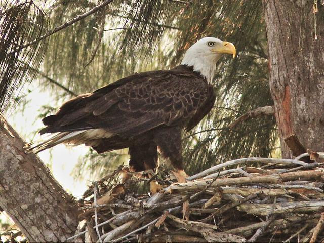 Bald Eagle Newfie on nest 3-20150126