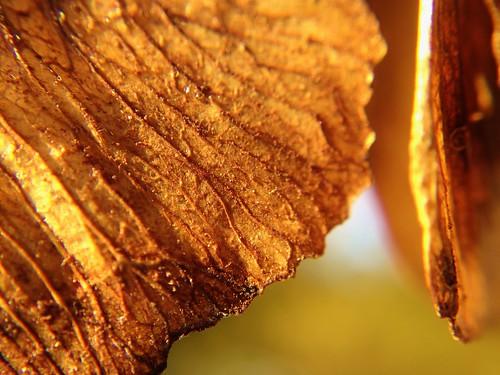 Maple Seed Macro