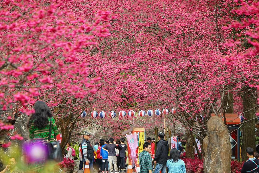 九族櫻花祭 (146)