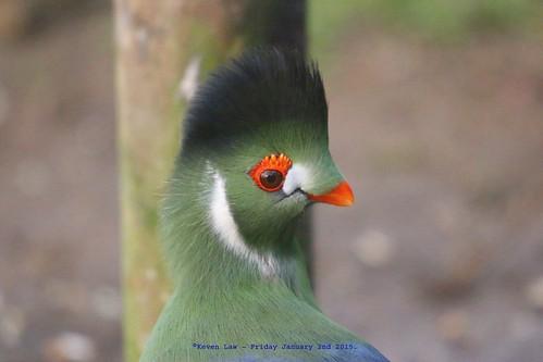 england bird birds kent feathers feathery wingham featheryfriday musophagidae winghamwildlifepark tauracoleucotis whitecheekedturaco