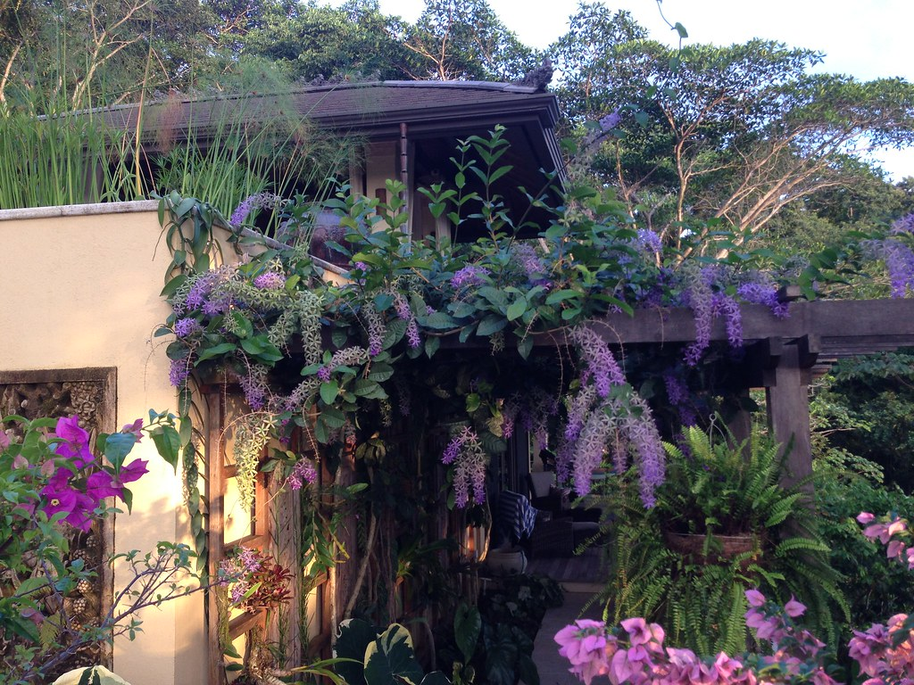 "Bedroom terrace and orchid wall covered with  Petrea volubilis ""Queens Wreath"""