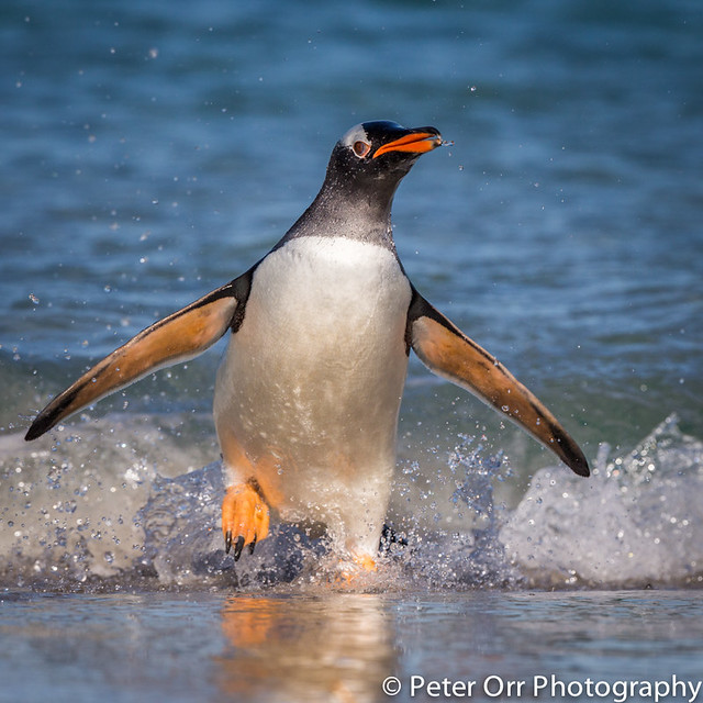 Gentoo penguin running in the surf