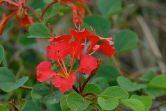 Red Bauhinia (Bauhinia galpinii)