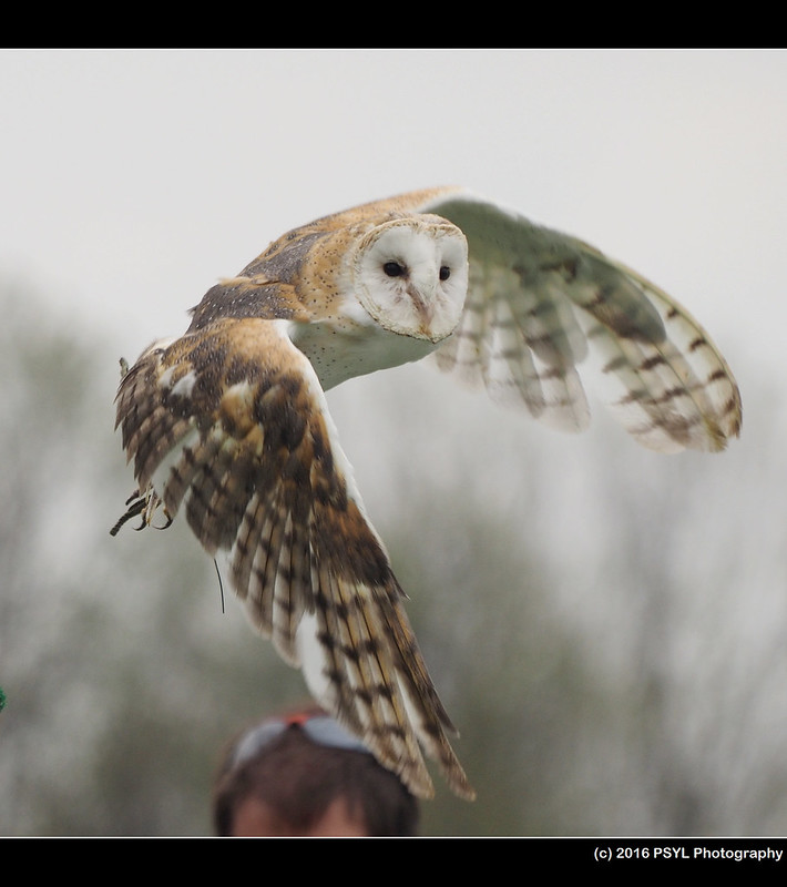 Boley the Barn Owl (Tyto alba)