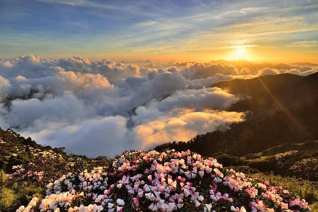 合歡山主峰●玉山杜鵑雲海夕彩   Taiwan Alpine Rhododendron Sunse