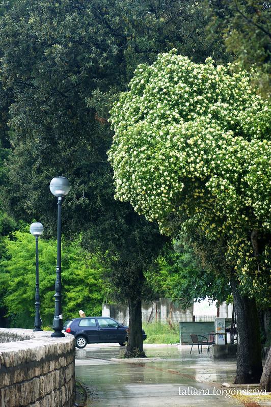 Пейзаж с деревом питтоспорума
