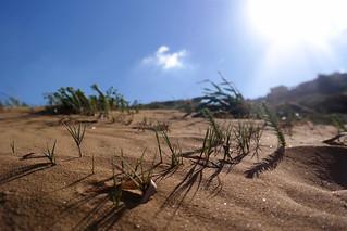 Imagen de Ramla l-Hamra. sea plants sun beach strand bay sand meer mediterranean pflanzen malta gozo ramla 2016 mittelmeer sprachcaffe
