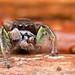 Habronattus viridipes jumping spider by Tibor Nagy