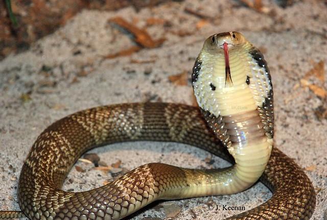 Monocled Cobra ~ Naja kaouthia | Flickr - Photo Sharing!Naja Kaouthia