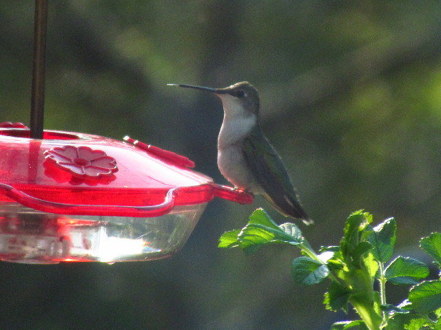 First Hummingbird female2 5:12:13