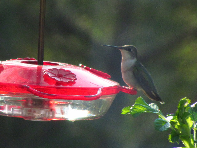 First Hummingbird female3 5:12:13