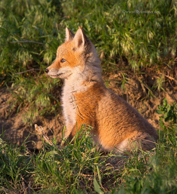 Red Fox Kit Watching the Sunset