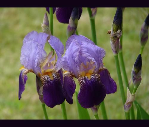 Mes 1ers iris de la saison by Mystycat =^..^= (mostly OFF déteste le nouveau Fl