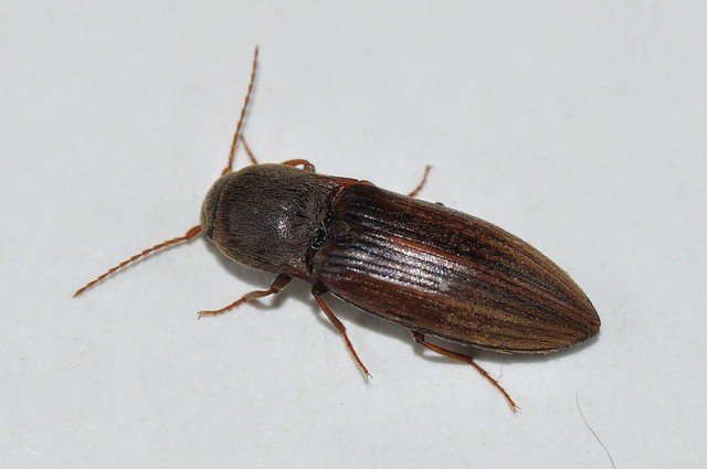 Agriotes