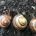 Snails lining up for the races